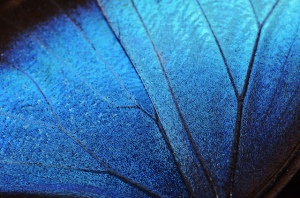 morpho butterfly wing