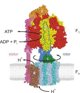 ATP_synthase