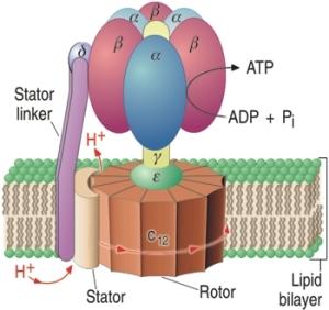 ATPase